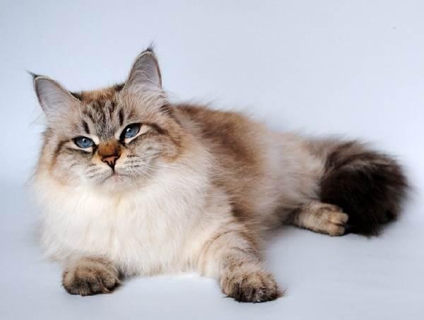 Невская-маскарадная-кошка-Описание-особенности-цена-и-уход-за-породой-5