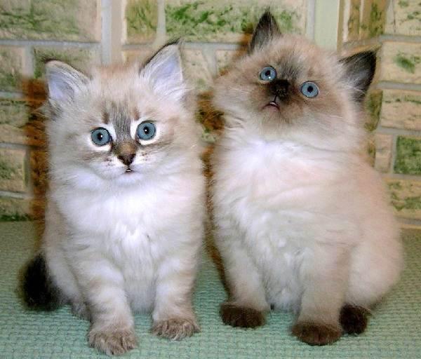 Невская-маскарадная-кошка-Описание-особенности-цена-и-уход-за-породой-6