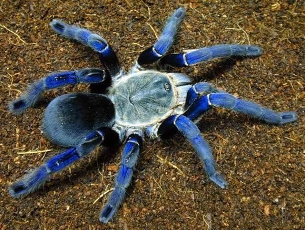 Паук-птицеед-Описание-особенности-и-среда-обитания-паука-птицееда-3
