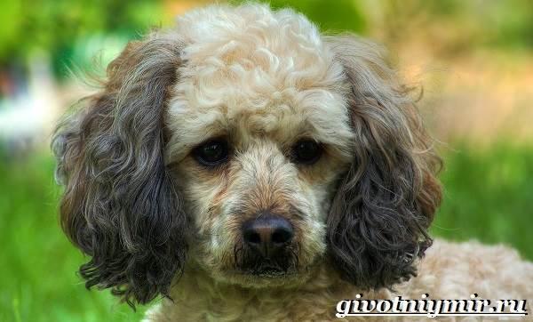 Пудель-собака-Подробно-о-породе-1