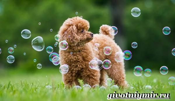 Пудель-собака-Подробно-о-породе-2