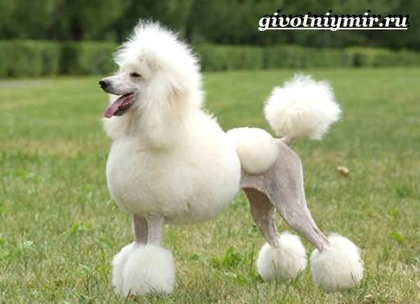 Пудель-собака-Подробно-о-породе-6