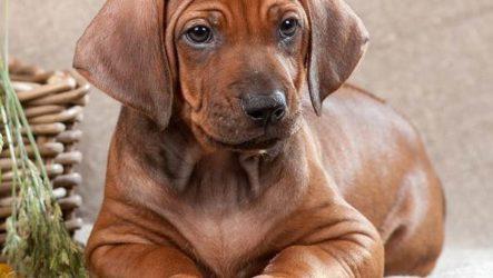 Риджбек. Описание, особенности, уход и цена собаки риджбек
