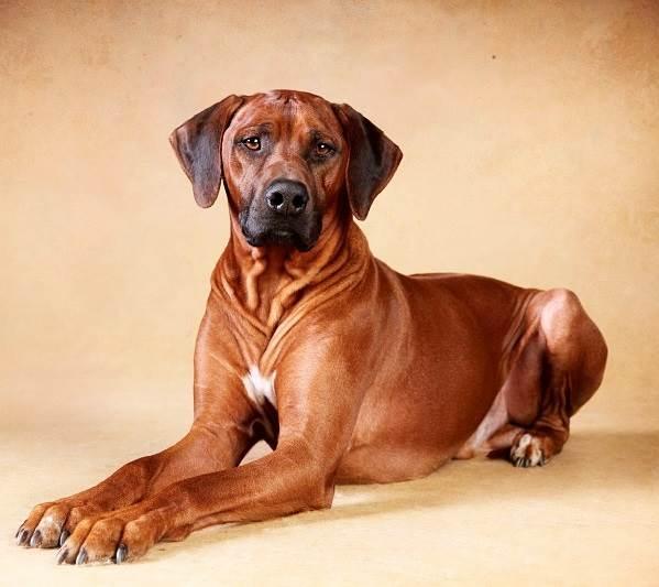 Риджбек-Описание-особенности-уход-и-цена-собаки-риджбек-2