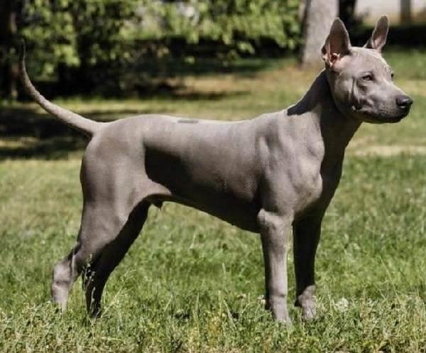 Риджбек-Описание-особенности-уход-и-цена-собаки-риджбек-4