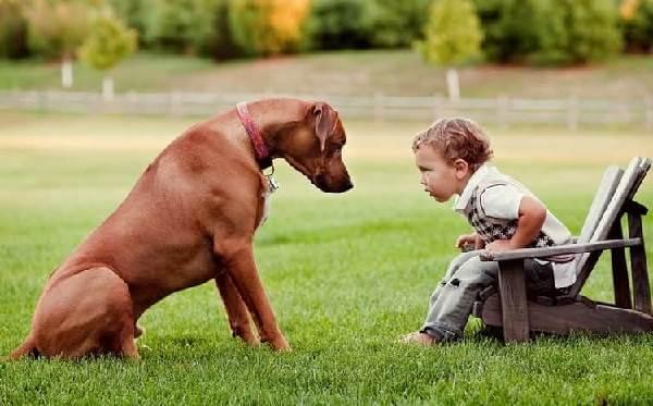 Риджбек-Описание-особенности-уход-и-цена-собаки-риджбек-5