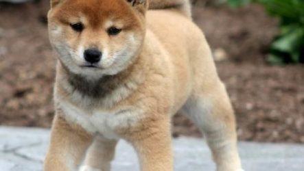 Сиба ину порода собаки. Описание, особенности, уход и цена породы
