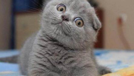 Шотландская вислоухая кошка. Описание, особенности, уход и цена породы