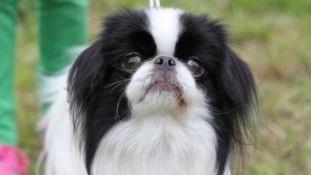 Японский хин собака. Описание, особенности и цена японского хина