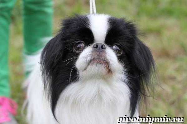 Японский-хин-собака-Описание-особенности-и-цена-японского-хина-1