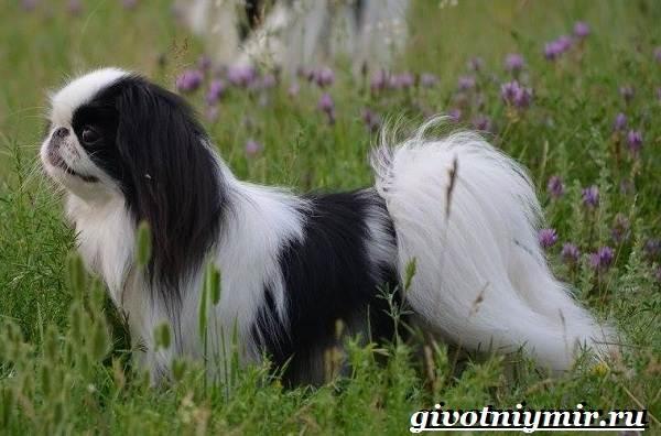 Японский-хин-собака-Описание-особенности-и-цена-японского-хина-4