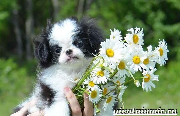 Японский-хин-собака-Описание-особенности-и-цена-японского-хина-5
