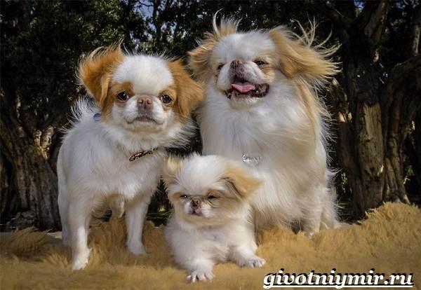 Японский-хин-собака-Описание-особенности-и-цена-японского-хина-6