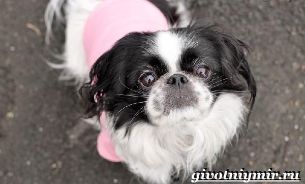 Японский-хин-собака-Описание-особенности-и-цена-японского-хина-7