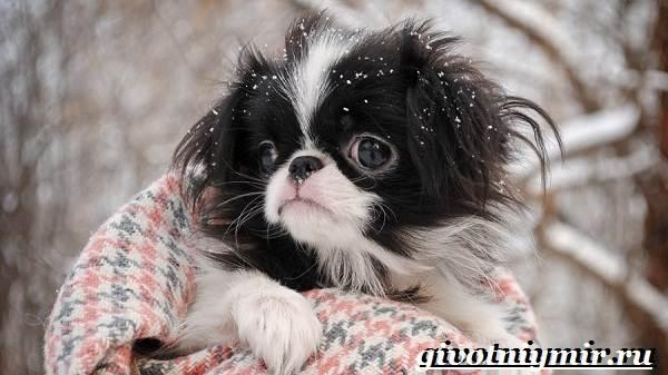 Японский-хин-собака-Описание-особенности-и-цена-японского-хина-8