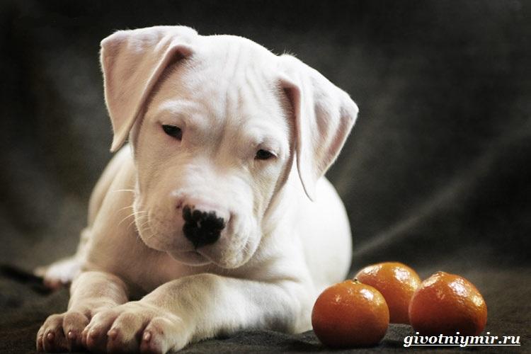 Аргентинский-дог-Особенности-цена-и-уход-за-собакой-3