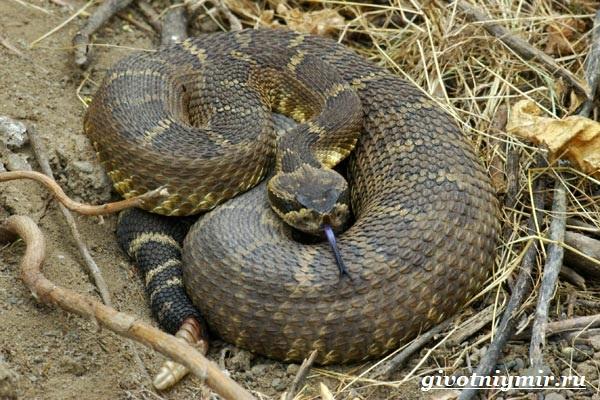 Гремучая-змея-Описание-особенности-и-среда-обитания-гремучей-змеи-3