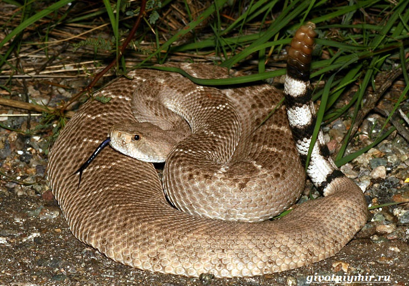 Гремучая-змея-Описание-особенности-и-среда-обитания-гремучей-змеи-4
