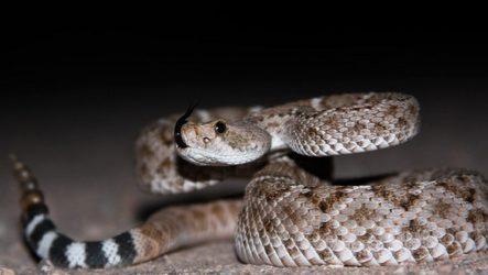 Гремучая змея. Описание, особенности и среда обитания гремучей змеи