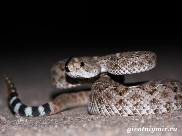 Гремучая-змея-Описание-особенности-и-среда-обитания-гремучей-змеи-5