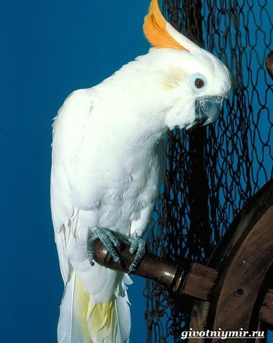 Попугай-какаду-1