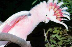 Попугай какаду. Описание, особенности и среда обитания попугая какаду