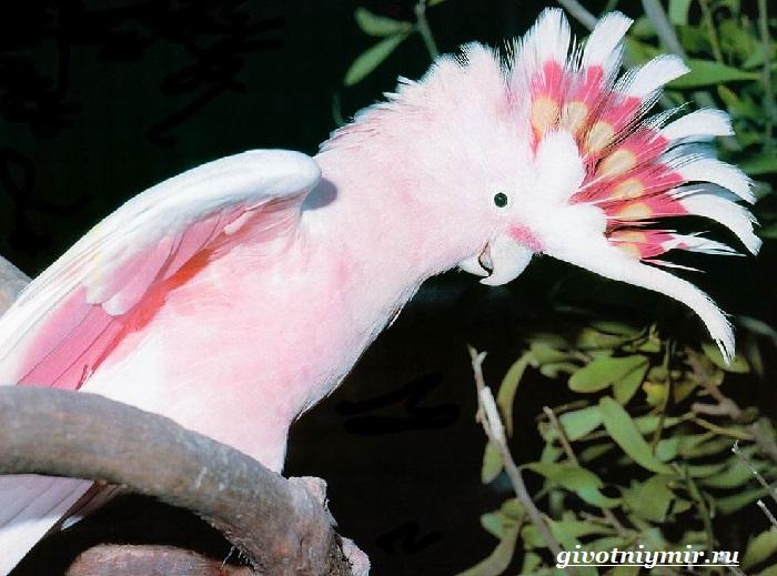 Попугай-какаду-2