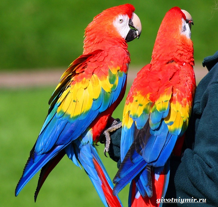 Попугай-какаду-3