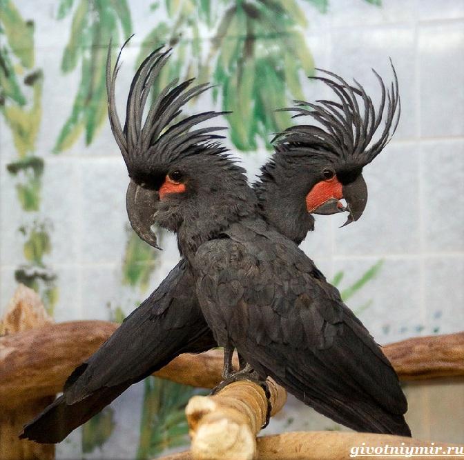 Попугай-какаду-4