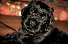 Чёрный терьер собака. Описание, особенности, уход и цена породы чёрный терьер