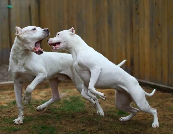 Аргентинский-дог-Особенности-цена-и-уход-за-собакой-10