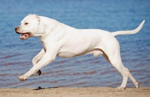Аргентинский-дог-Особенности-цена-и-уход-за-собакой-5