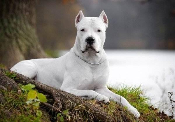 Аргентинский-дог-Особенности-цена-и-уход-за-собакой-6