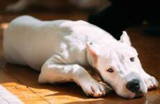 Аргентинский дог. Особенности, цена и уход за собакой