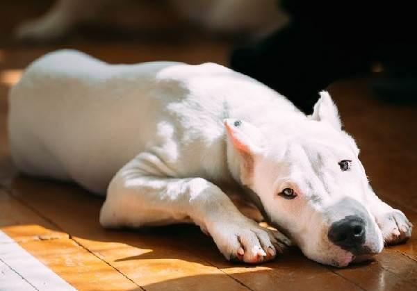 Аргентинский-дог-Особенности-цена-и-уход-за-собакой-9