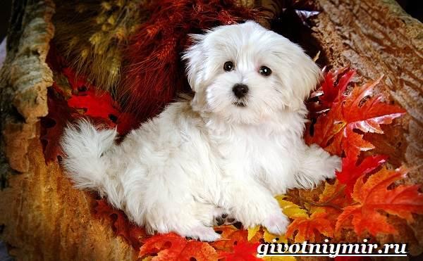 Болонка-порода-собак-Описание-цена-и-уход-за-болонкой-1