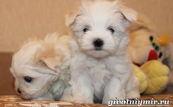 Болонка-порода-собак-Описание-цена-и-уход-за-болонкой-10