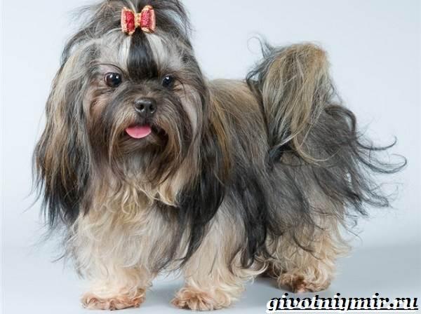 Болонка-порода-собак-Описание-цена-и-уход-за-болонкой-2