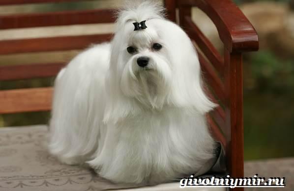 Болонка-порода-собак-Описание-цена-и-уход-за-болонкой-4