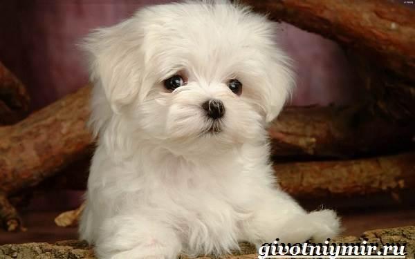 Болонка-порода-собак-Описание-цена-и-уход-за-болонкой-5