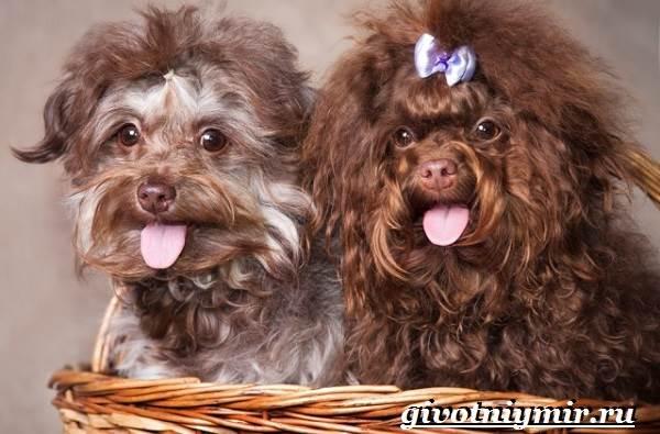 Болонка-порода-собак-Описание-цена-и-уход-за-болонкой-6