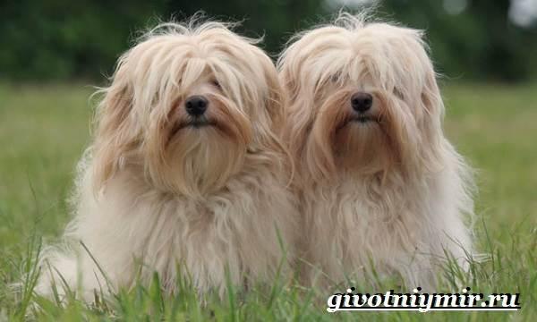 Болонка-порода-собак-Описание-цена-и-уход-за-болонкой-7