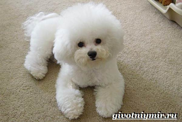Болонка-порода-собак-Описание-цена-и-уход-за-болонкой-8