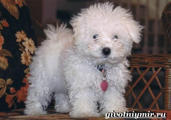 Болонка-порода-собак-Описание-цена-и-уход-за-болонкой-9