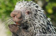 Дикобраз животное. Описание, особенности и среда обитания дикобраза