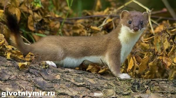 Горностай животное. Описание, особенности и среда обитания горностая