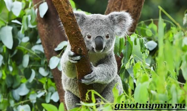 Коала-Описание-и-особенности-коалы-1