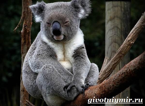 Коала-Описание-и-особенности-коалы-2