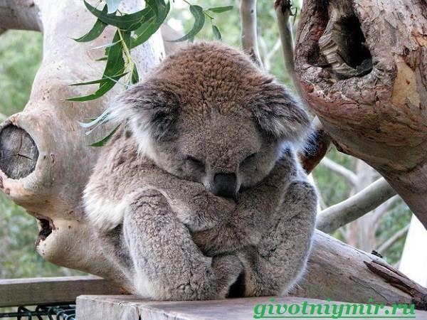 Коала-Описание-и-особенности-коалы-3