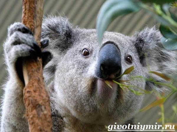Коала-Описание-и-особенности-коалы-4